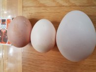 Волинянин знайшов величезне яйце в своєму курнику