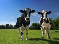 На Волині блискавка вбила двох корів