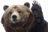 Три ведмеді наробили шороху в США (відео)