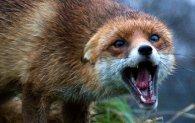 На Волині з літаків скидають вакцину проти сказу лисиць