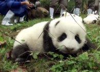 Милоття: у китайському зоопарку показали 36 маленьких панденят (відео)