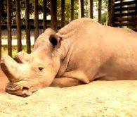 Останній у світі білий носоріг може померти, не залишивши потомства