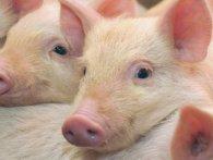 Свиню від ножа м'ясників врятувала інша свиня (відео)