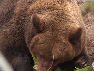 Отака зима: ведмеді залишилися без зимової сплячки (відео)