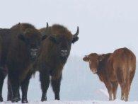 Корова втекла від господаря і стала жити із зубрами