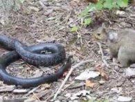 Материнський інстинкт: білка покусала змію (відео)