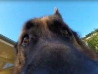 Вівчарка поцупила в хазяїна камеру і зняла непоганий екшн (відео)