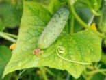 Городникам на замітку: чому жовтіє листя огірків