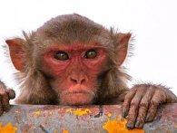 В Індії мавпа взяла у заручники малюка (відео)