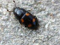 В селі на Тернопільщині – нашестя дивних жуків