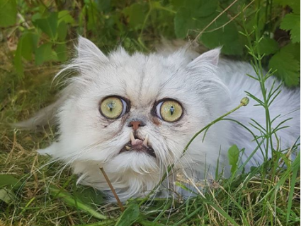 Ікластого перса із Британії визнали найстрашнішим котом планети (фото)