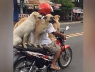 Філіппінець привчив своїх собак їздити на байку (відео)