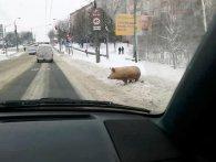 Посеред Рівного розгулювала велетенська свиня (відео)