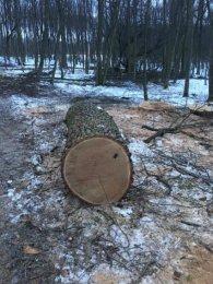 У лісі поблизу Луцька вирубали 200-літні дуби (ФОТО)
