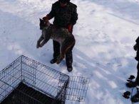 Знайдену в Житомирі рись поселили в зоопарку Рівного (відео)