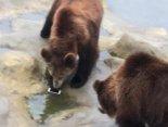 Турист у зоопарку «нагодував» ведмедів своїм iPhone (відео)