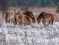 В Чорнобильській зоні у фотооб'єктив «піймали» диких коней (фото)