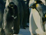 Унікального пінгвіна зафіксували камери (відео)