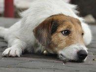 В Україні масово отруюють собак (відео)