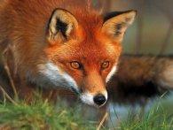 На Рівненщині масово відстрілюють лисиць