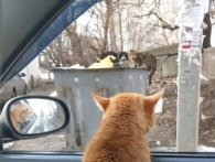 Хвостатий «штурман»: кіт-таксист із Харкова став зіркою соцмереж (фото)