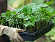 7 простих правил догляду за розсадою
