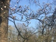 У Чернівцях цвітуть магнолії (відео)
