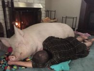 Рівнянин у квартирі в багатоповерхівці вигодував свиню (відео)