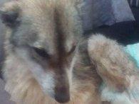 Людська жорстокість: на Львівщині собаці відрубали лапи