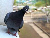 У Німеччині водія-«лихача» від штрафу врятував голуб (фото)
