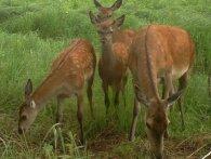 Лосі, рисі, зубри – дикі тварини Чорнобиля на фото