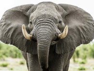 Невдаха-папараці отримала ляпаса від слона (відео)