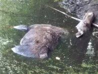 На Волині автомобіль на смерть збив лосицю (фото 18+)