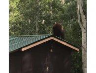 У США на відео потрапив ведмідь-злодюжка