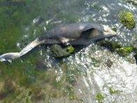 В Одесі на пляжі знайшли мертвого дельфіна (фото)