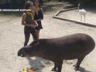 Торт і масаж – тапірці з Рівненського зоопарку влаштували день народження (відео)