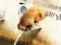 Мавпа показала людям, як правильно економити воду (відео)