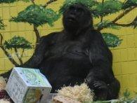 Єдина в Україні горила відсвяткувала 45-річчя (фото)