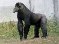 Інтернет злякався мускулястої ворони з «лапами горили» (відео)
