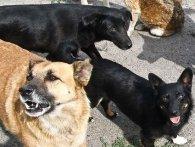 На Львівщині зграя собак тероризує село (відео)