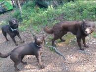 «Замри!»: три собаки-«пастушки» вразили умінням зберігати позу (відео)