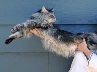 Мережу вразив найдовший кіт у світі (фото, відео)