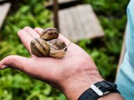 Чому м'ясо равликів заборонено продавати в Україні та як під Луцьком працює равликова ферма (відео)