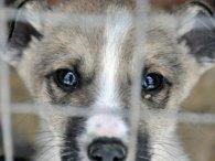 Вбили цуценят та ледь не розірвали поросят: на Волині розслідують факти жорстокого поводження з тваринами