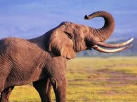 Маленька дівчинка змусила втікати дикого слона (відео)
