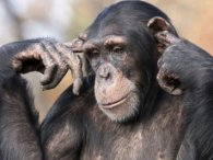 Чемна мавпа показала людям, як правильно їсти десерт ложечкою (відео)